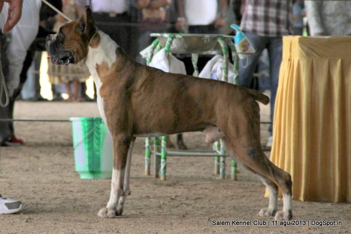 boxer,, Salem Dog Show 2013, DogSpot.in