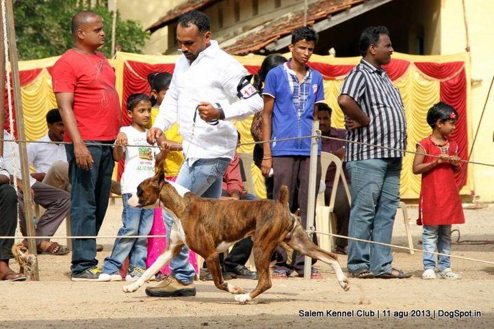 boxer,ex-126,, Salem Dog Show 2013, DogSpot.in
