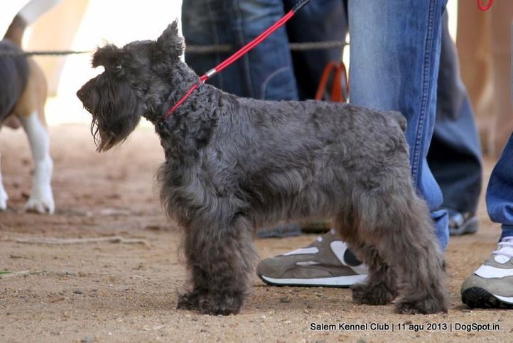 ex-21,miniature schnauzer,, Salem Dog Show 2013, DogSpot.in