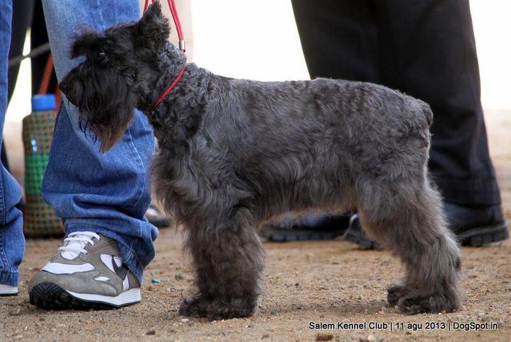 ex-21,miniature schnauzer,, Salem Dog Show 2013, DogSpot.in