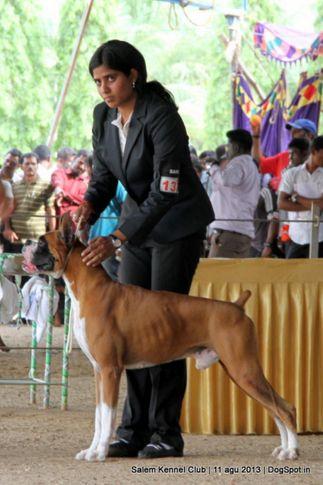 boxer,ex-137,, Salem Dog Show 2013, DogSpot.in