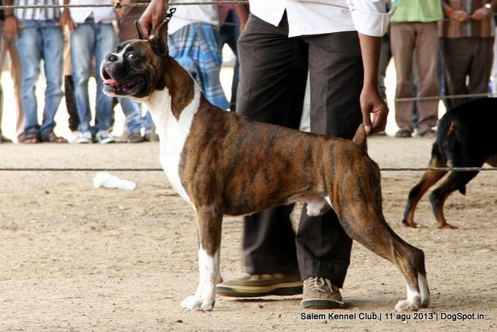boxer,ex-135,, Salem Dog Show 2013, DogSpot.in