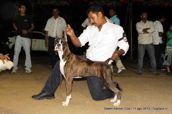 boxer,ex-136,, Salem Dog Show 2013, DogSpot.in