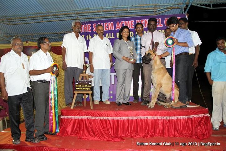 best puppy in show,great dane,line up,, Salem Dog Show 2013, DogSpot.in