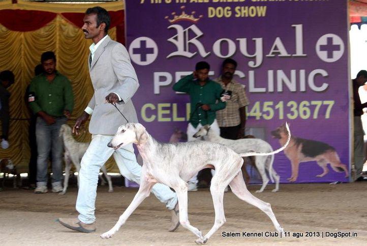 caravan hound,ex-37,, Salem Dog Show 2013, DogSpot.in