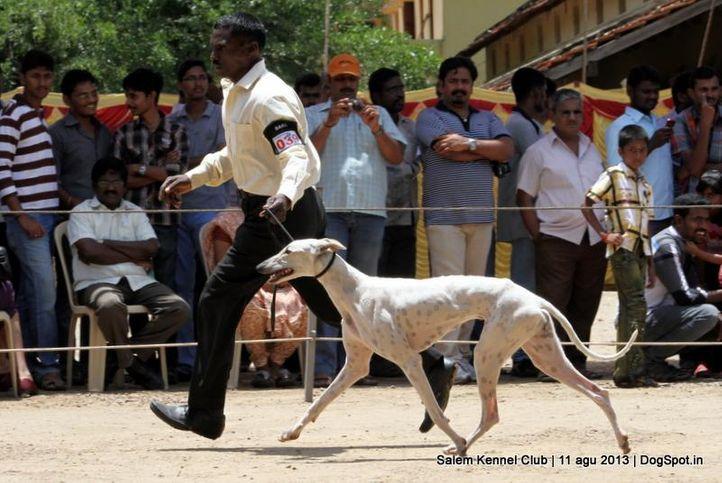 caravan hound,ex-39,, Salem Dog Show 2013, DogSpot.in