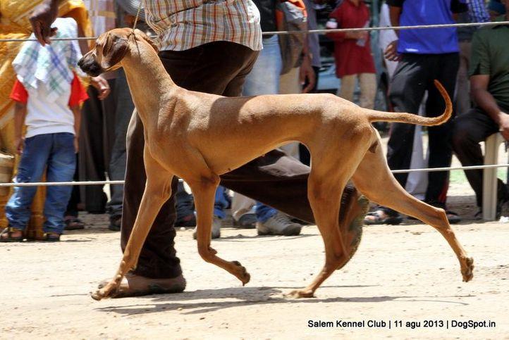 caravan hound,ex-40,, Salem Dog Show 2013, DogSpot.in