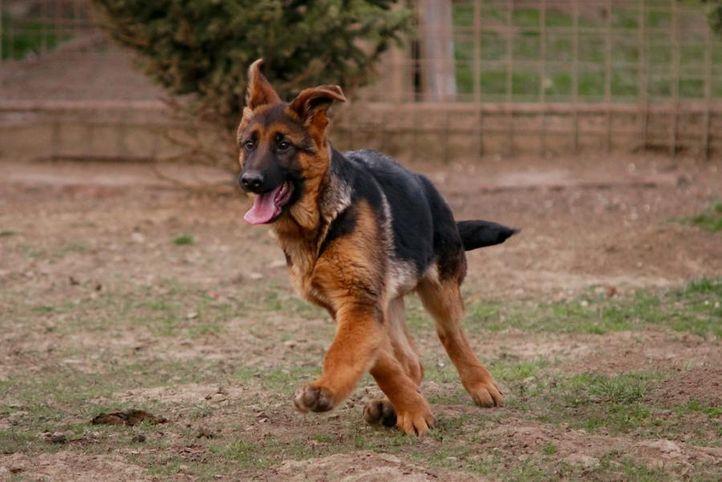 ,SONY DSC,, sethi farm house. 9215641038 (german shepherd), DogSpot.in