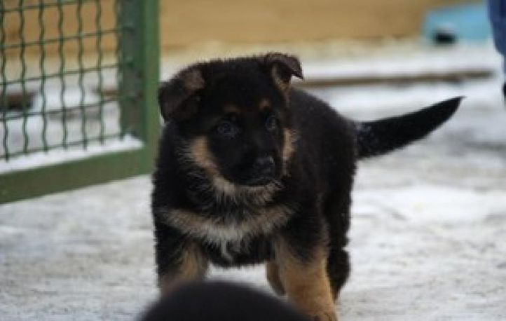 sethi farm house. 9215641038 (german shepherd), sethi farm house. 9215641038 (german shepherd), DogSpot.in