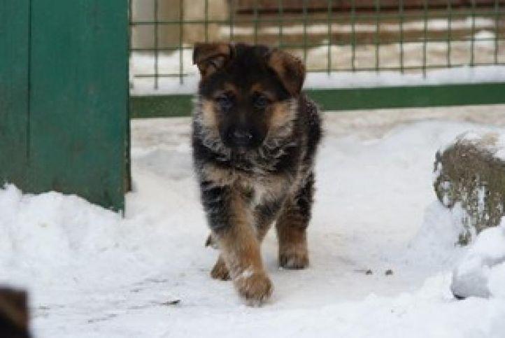 sethi farm house. 9215641038 (german shepherd), sethi farm house. 9215641038 (german shepherd), DogSpot.in