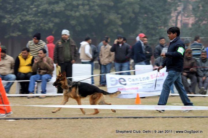 ex-41,sw-20,, SURYAVANSHI BRICA, German shepherd dog, DogSpot.in