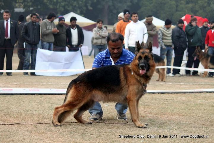 ex-44,sw-20,, ANDO OF DEEJAY, German shepherd dog, DogSpot.in