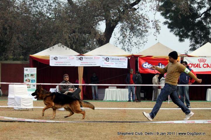 ex-54,sw-20,, RUPAL'S SAASA, German shepherd dog, DogSpot.in