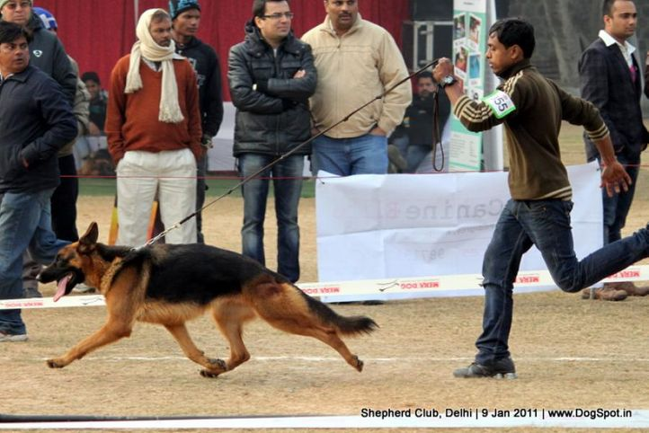 ex-55,sw-20,, KOZY, German shepherd dog, DogSpot.in