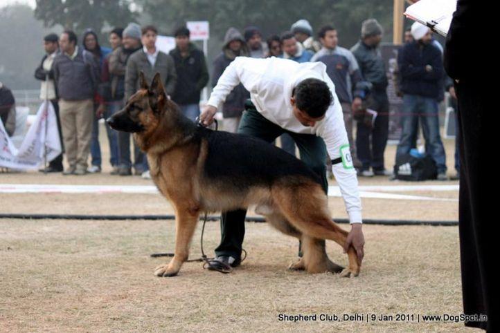 ex-56,sw-20,, CRACK DES TERRES DE LA SERPENTERIE, German shepherd dog, DogSpot.in