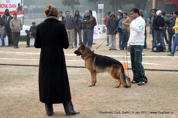 ex-56,judge,sw-20,, CRACK DES TERRES DE LA SERPENTERIE, German shepherd dog, DogSpot.in