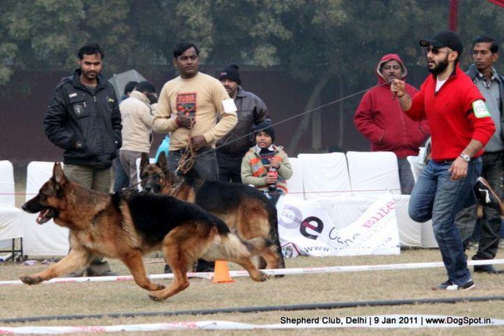 ex-58,sw-20,, NEXX VOM SUENTELSTEIN, German shepherd dog, DogSpot.in
