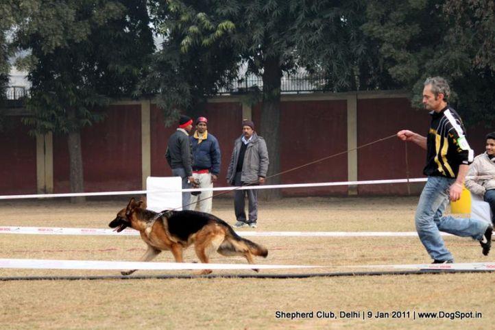 ex-63,sw-20,, KONNIE VON DAKOTA, German shepherd dog, DogSpot.in