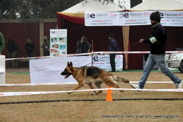 ex-65,sw-20,, STAFFY, German shepherd dog, DogSpot.in