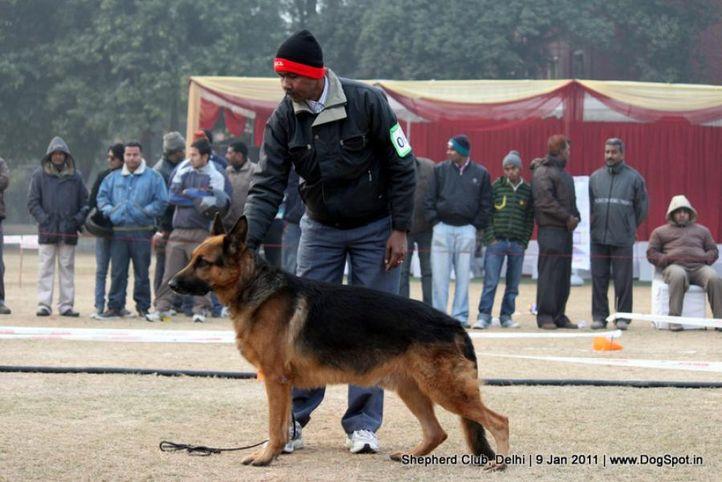 ex-68,sw-20,, AWACHO VOM AHAYSER SCHLOB, German shepherd dog, DogSpot.in