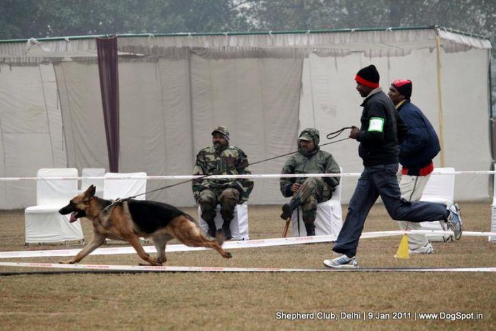 ex-70,sw-20,, CADINA VOM SUENTEL STEIN, German shepherd dog, DogSpot.in