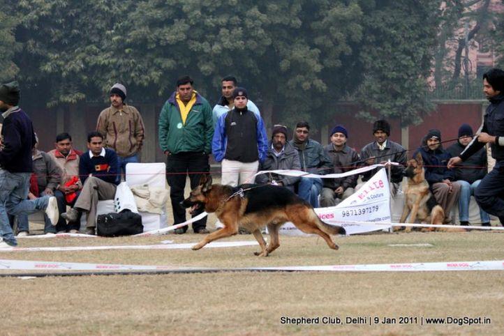 ex-83,sw-20,, RONNIE DI CASA MASSARELLI, German shepherd dog, DogSpot.in