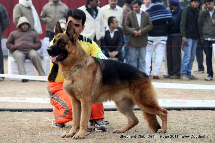 ex-84,sw-20,, DAGGO VOM KONIGSADLER, German shepherd dog, DogSpot.in