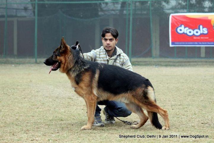 ex-86,sw-20,, AROC VON HAUS SHERGILL, German shepherd dog, DogSpot.in