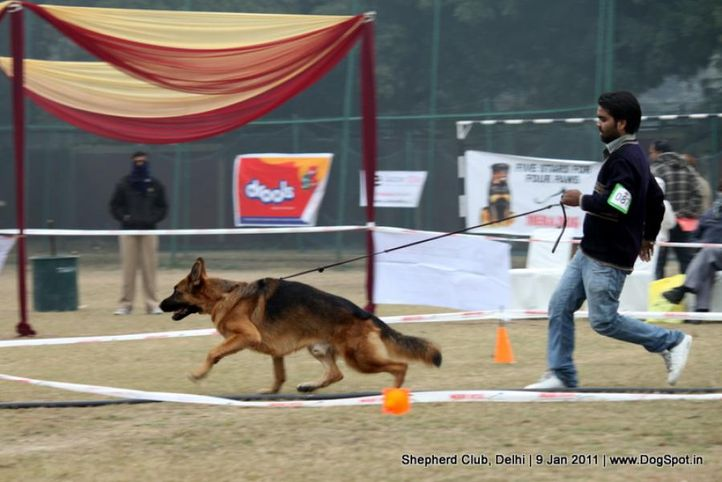 ex-87,sw-20,, RONALD, German shepherd dog, DogSpot.in