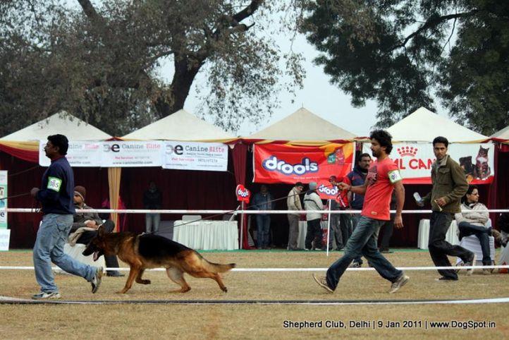 ex-93,sw-20,, CH. YASKO VOM WOLFENHOF, German shepherd dog, DogSpot.in