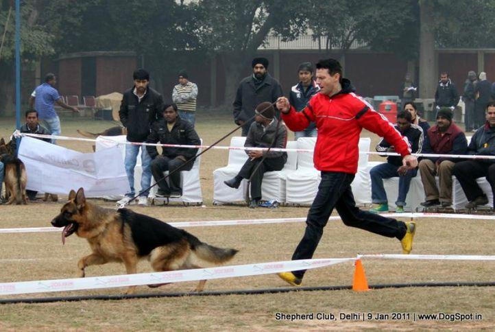 ex-40,sw-20,, TORO TOPOLOVNICKI, German shepherd dog, DogSpot.in