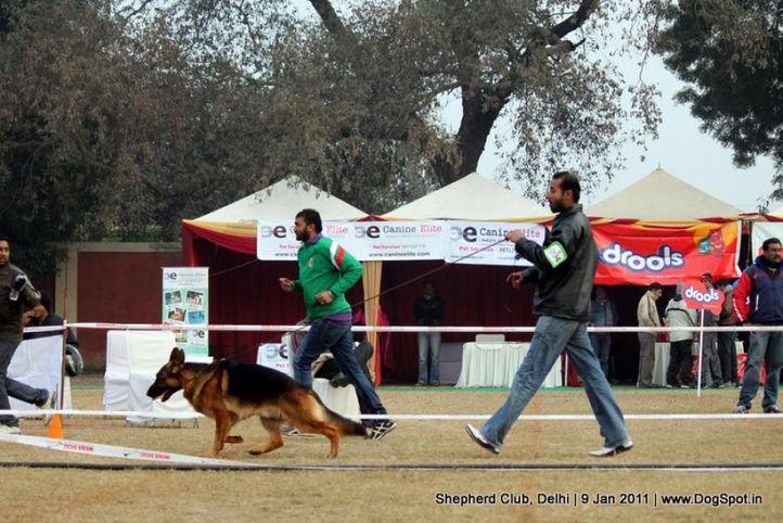 ex-94,sw-20,, TRAX VOM THERMADOS, German shepherd dog, DogSpot.in