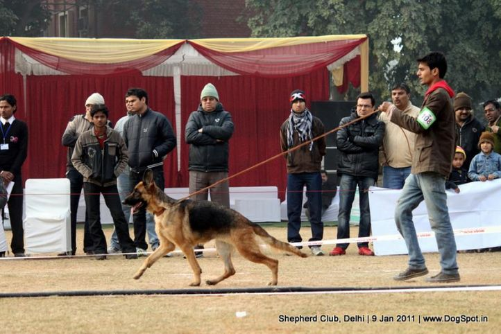 ex-108,sw-20,, RUPAL'S BEETA, German shepherd dog, DogSpot.in
