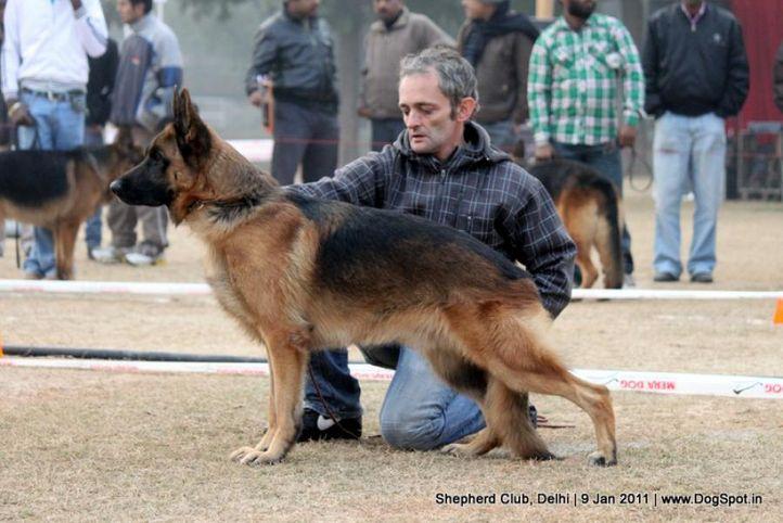ex-111,sw-20,, ZASKO FEETBACK, German shepherd dog, DogSpot.in