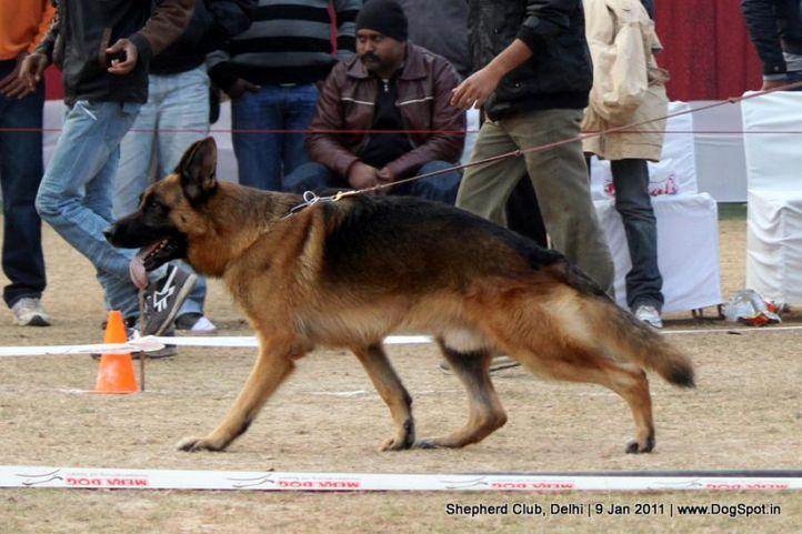ex-114,sw-20,, JULIE OF ZEDEX, German shepherd dog, DogSpot.in
