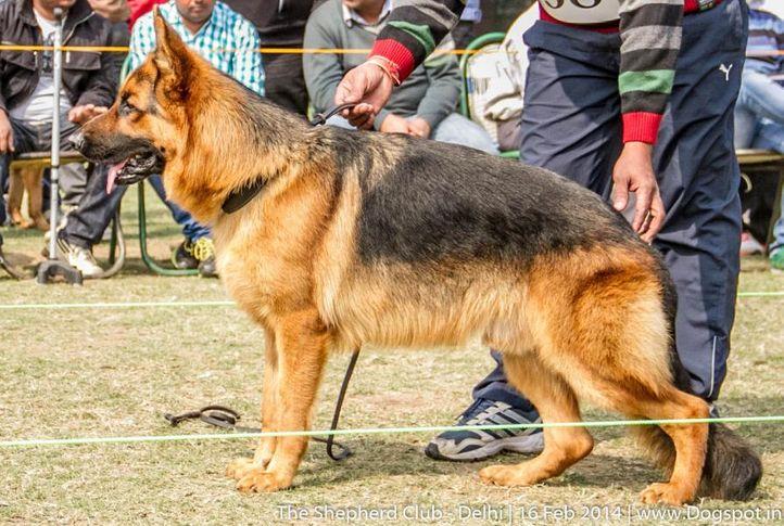 puppy dog vp 1,sw-117,ex-38,, VINCE OF HERBERT, German shepherd dog, DogSpot.in