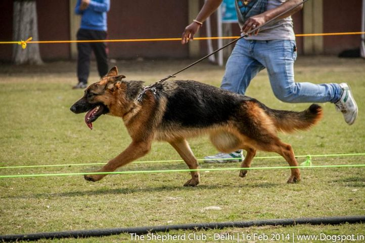 sw-117,ex-51,, GINA OF HOUSE MOSES, German shepherd dog, DogSpot.in