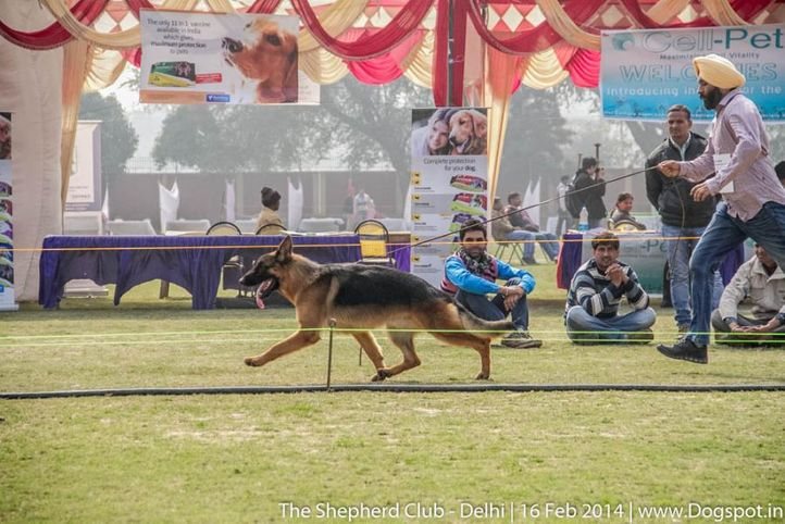 sw-117,youth dog- sg 2,ex-60,, BEGAS OF DADHWAL, German shepherd dog, DogSpot.in