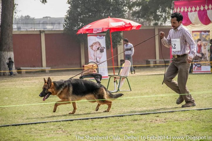 sw-117,youth dog sg 1,ex-62,, LEO, German shepherd dog, DogSpot.in