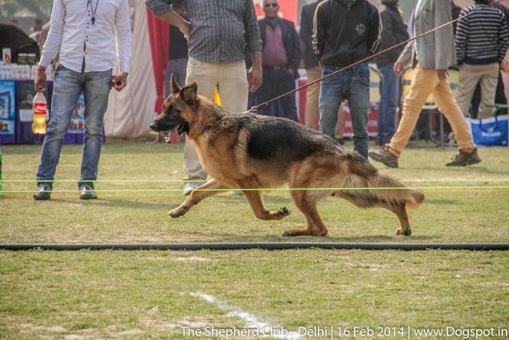 sw-117,youth dog sg 3,ex-65,, ZANDER VOM TEAM FIMERECK, German shepherd dog, DogSpot.in