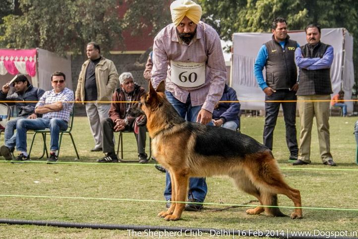sw-117,youth dog sg 2,ex-60,, BEGAS OF DADHWAL, German shepherd dog, DogSpot.in
