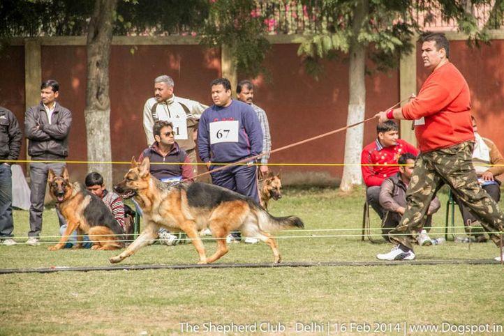 sw-117,ex-57,, DINGO, German shepherd dog, DogSpot.in