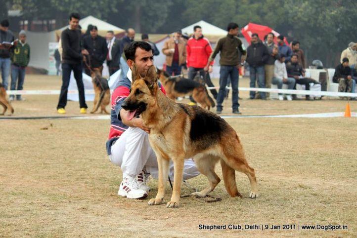 ex-5,sw-20,, RUPAL S ATRICE, German shepherd dog, DogSpot.in
