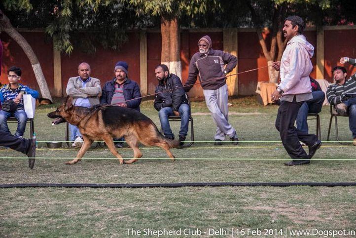 sw-117,ex-134,, WISKY FEETBACK, German shepherd dog, DogSpot.in