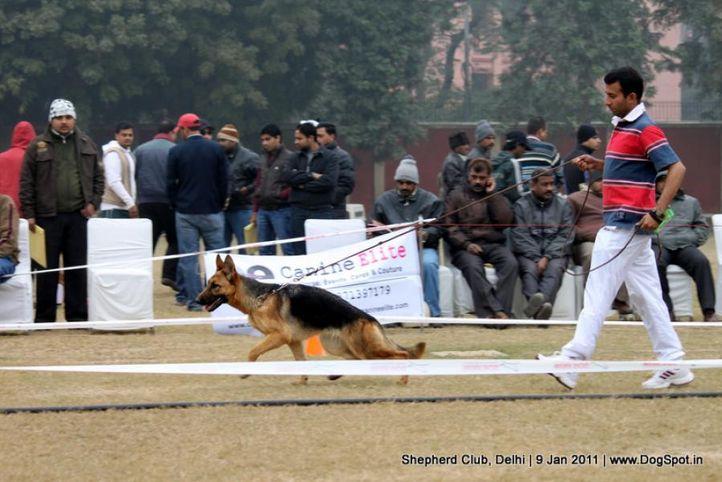 ex-6,sw-20,, YOSHIE, German shepherd dog, DogSpot.in