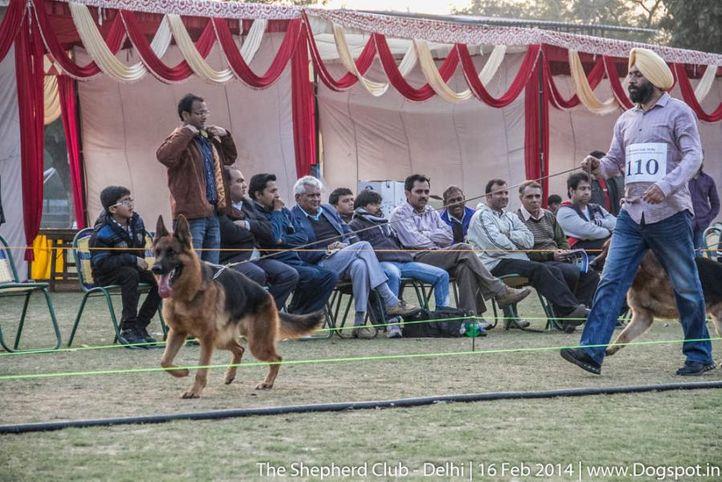 best bi dog,open dog- v1,sw-117,ex-110,, JAMES BOND VON ATHABA, German shepherd dog, DogSpot.in