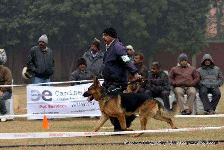 ex-18,sw-20,, BULAND DIL DARA, German shepherd dog, DogSpot.in