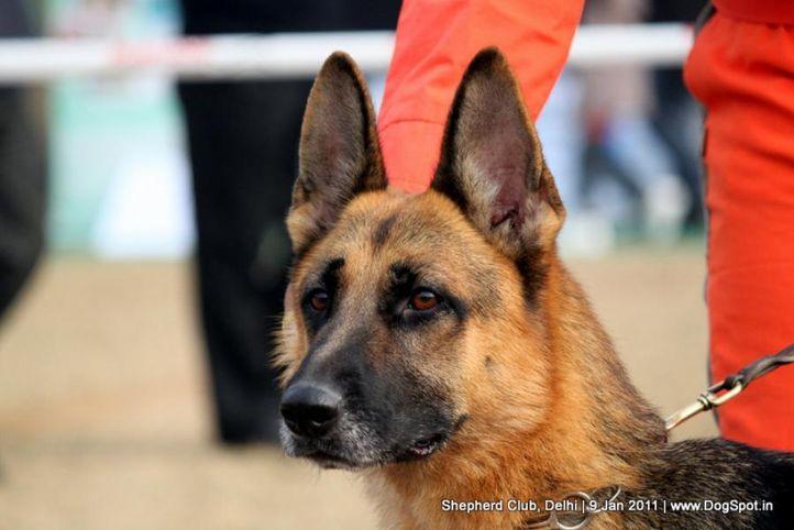 ex-34,sw-20,, SANTANA VOM BIESTEDERHOF, German shepherd dog, DogSpot.in