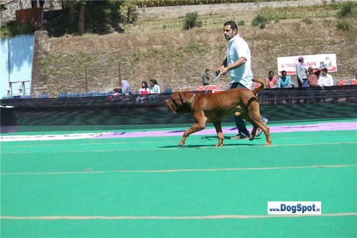 sw-1,ex-97,mastiff,, SULTAN, Dogue De Bordeaux, DogSpot.in
