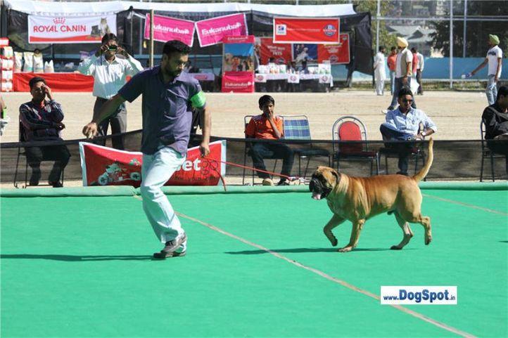 mastiff,, Shimla 2010, DogSpot.in